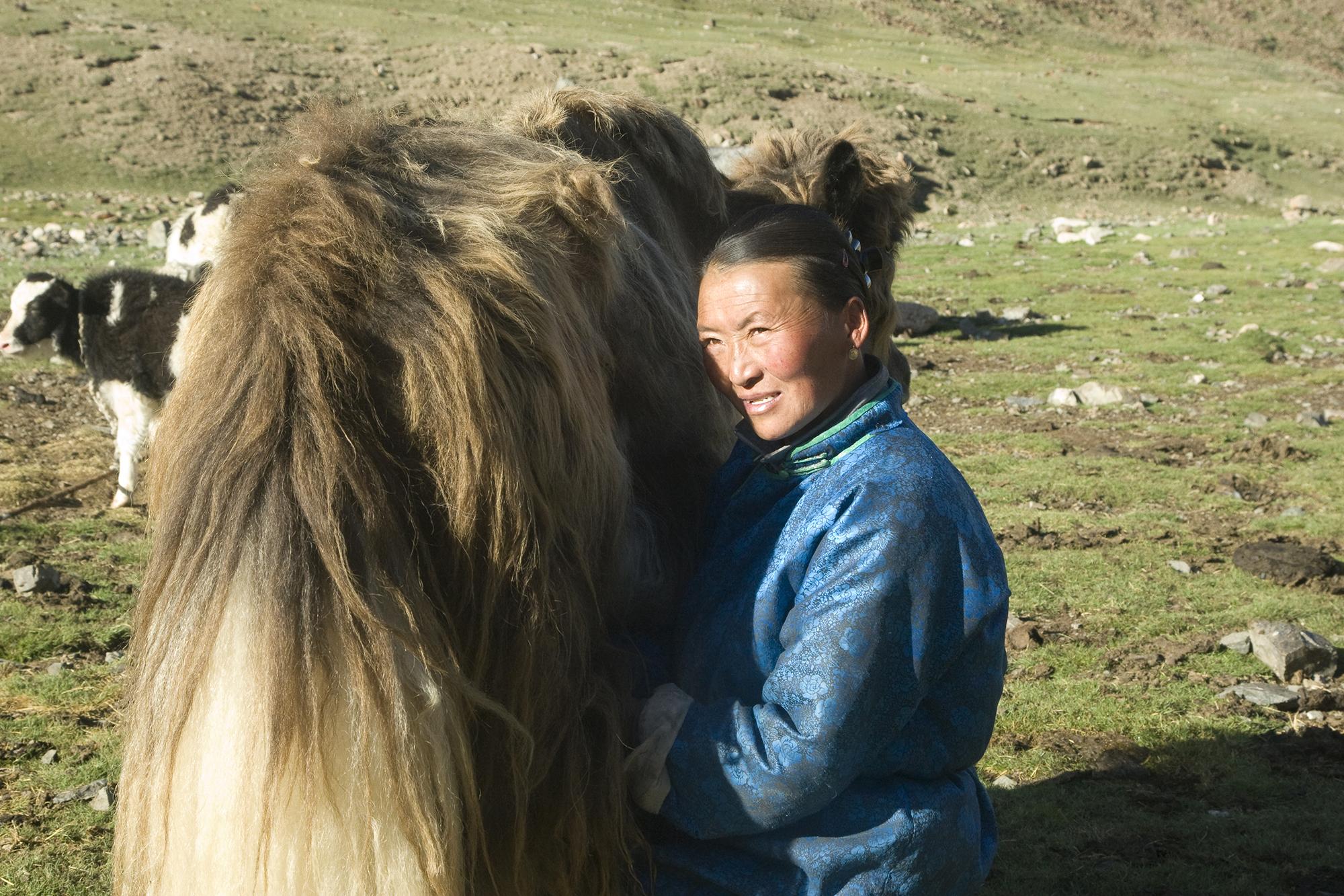 Herder women milking a yak